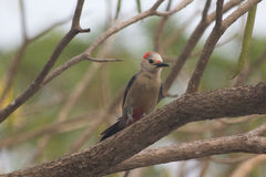 Woodpecker отдыхая на ветви Стоковые Фотографии RF