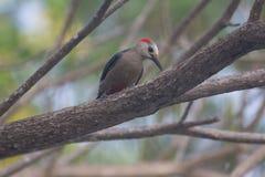 Woodpecker отдыхая на ветви 3 Стоковые Изображения