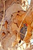 Woodpecker подпертый трапом Стоковые Изображения