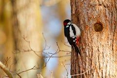 Woodpecker, портрет красной птицы крышки около отверстия гнезда Большой запятнанный Woodpecker, птица в среду обитания, черно-бел Стоковая Фотография