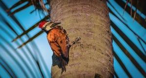 Woodpecker пробуя сделать его дом стоковая фотография