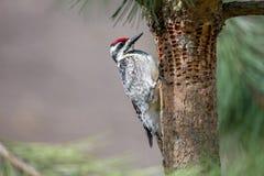 Woodpecker проверяя отверстия в дереве Стоковое Фото