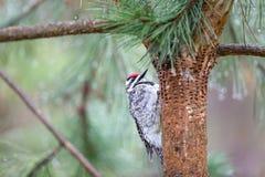 Woodpecker проверяя отверстия в дереве Стоковое Изображение
