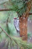 Woodpecker проверяя отверстия в дереве Стоковая Фотография RF