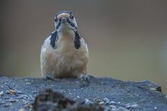Woodpecker рассматривая пень Стоковое Изображение