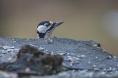 Woodpecker рассматривая пень Стоковое Изображение RF