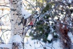 Woodpecker сидит на березе и стучает его клювом Стоковое фото RF