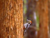 Woodpecker увенчанный желтым цветом стоковая фотография
