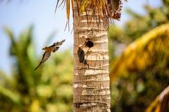 Woodpecker увенчанный красным цветом захватил освобождать место гнезда Стоковые Изображения RF