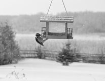 woodpecker фидера волосатый стоковое изображение rf