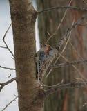 Woodpecker фликера Стоковое Изображение RF
