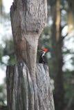 Woodpecker Флориды Стоковые Изображения