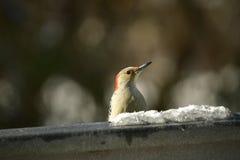 woodpecker Imagen de archivo libre de regalías