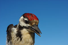 Woodpecker. The big Motley woodpecker against the dark blue sky close up Royalty Free Stock Image