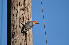 Woodpecker Imagem de Stock Royalty Free