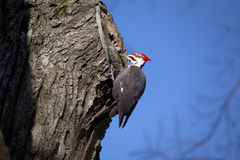 Woodpecker. In tree looking for food with blue sky at the back Stock Photography