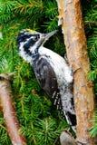 Woodpecker. ( Picoides tridactylus ) close up Royalty Free Stock Photos