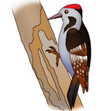 Woodpecker. Sitting on a tree and pecks on a white background Stock Photo
