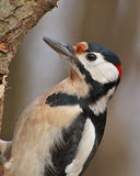 Woodpecker Royalty Free Stock Photography