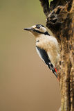 Woodpecker. Great Spotted Woodpecker on a tree. (Dendrocopos major Royalty Free Stock Image