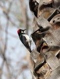 Woodpecker стоковая фотография