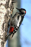 Woodpecker. Sits on a branch Stock Photos