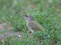 серый возглавленный woodpecker Стоковое Изображение