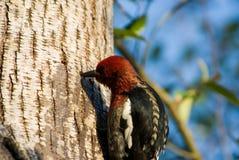 Woodpecker imagem de stock royalty free