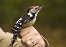 Woodpecker Royalty Free Stock Image