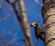 Woodpecker Stock Photos
