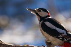 Woodpecker Royalty Free Stock Photos