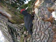 Черный woodpecker Стоковое Изображение
