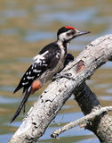 WOODPECKER. In Turkey istanbul portre Royalty Free Stock Image
