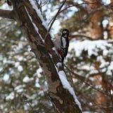 woodpecker Stock Afbeelding