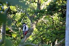 woodpecker Fotografía de archivo