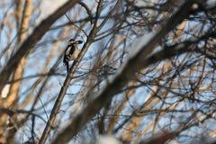 woodpecker Immagini Stock