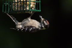 пуховый woodpecker Стоковое Изображение RF