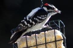 woodpecker imagenes de archivo