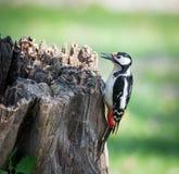 woodpecker Fotos de Stock