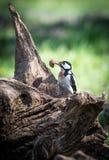 woodpecker Fotos de Stock Royalty Free