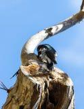 woodpecker Royalty-vrije Stock Afbeelding