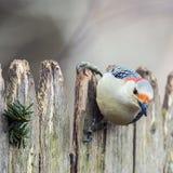 woodpecker Immagini Stock Libere da Diritti