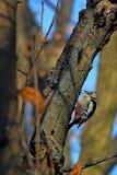 woodpecker Royalty-vrije Stock Foto
