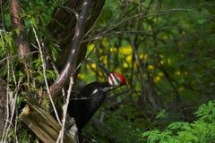 Woodpecker. Pileated woodpecker (Dryocopus pileatus Royalty Free Stock Images
