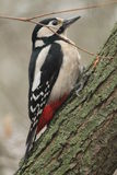 woodpecker Imagem de Stock