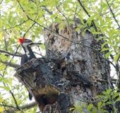 woodpecker Fotografia Stock Libera da Diritti