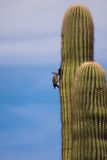 Woodpecker. Making a home in a cactus Royalty Free Stock Images