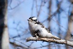 woodpecker Imágenes de archivo libres de regalías