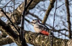 woodpecker Fotografía de archivo libre de regalías