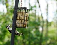 woodpecker Foto de archivo libre de regalías